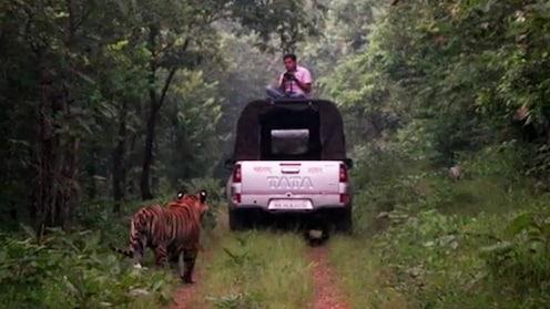 वाघ समोर उभा अन् पठ्या जीपच्या छतावर बसून रेकाॅर्ड करतोय व्हिडिओ