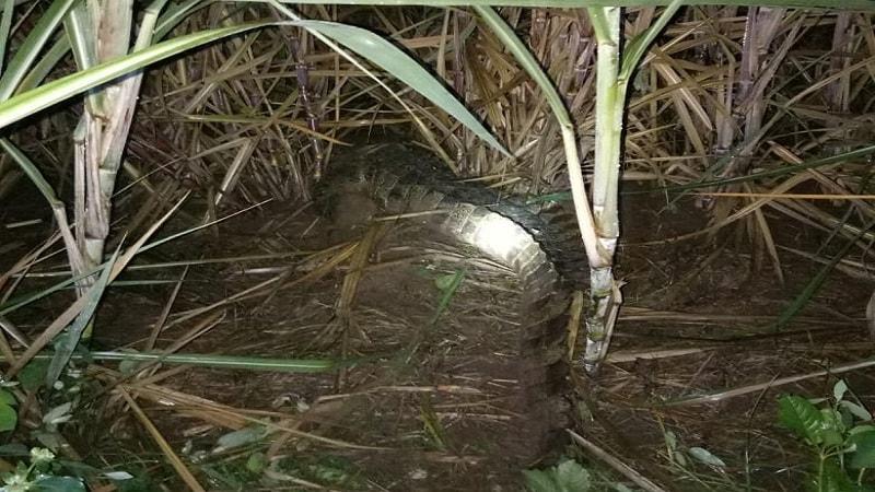 या एवढ्या मोठ्या मगरीला पकडण्यासाठी रात्रभर मोहीम राबवण्यात आलं. आणि त्यानंतर तिला पकडण्यात यश आलं आहे.