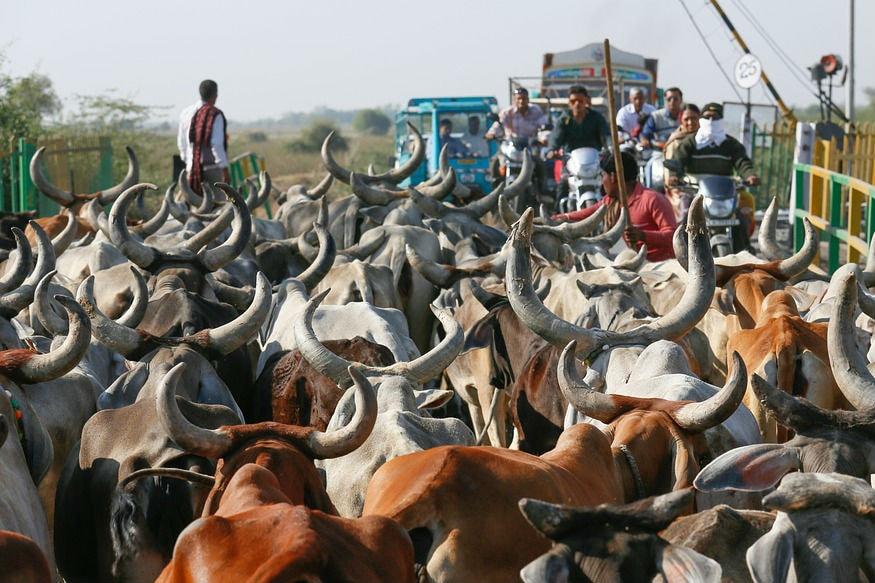 भारतात जिथे गायीवरून मारामाऱ्या जालू आहेत, तिथे आपला शेजारी देश पाकिस्तानासाठी गाय महत्त्वाची ठरलीय. मेडिकल जर्नल लँसेंटच्या रिपोर्टनुसार पाकमध्ये हवेचं प्रदूषण आहे. 22 टक्के मृत्यू या प्रदूषणानं होतात. त्यामुळे गायीच्या शेणातून बनणाऱ्या वायूवर आता तिथल्या बसेस चालवल्या जाणार आहेत.