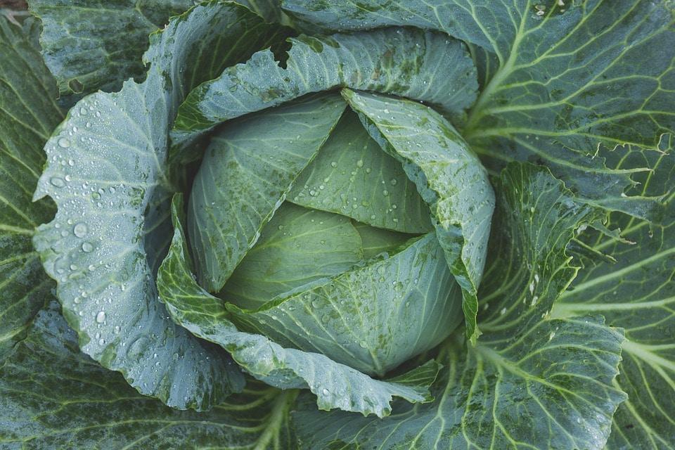 कोबीला इंग्रजीमध्ये CABBAGE म्हणतात आणि फ्लॉवरला cauliflower असं म्हणतात. पण कोबी आणि फ्लॉवर एकाच प्रजातीच्या भाज्या आहेत. कोबीतून निघणाऱ्या किड्यांना टेपवर्म (tapeworm)म्हणजेच लांब जंत असं म्हणतात. पावसाळ्यात कोबीमध्ये या किड्यांचं प्रमाण जास्त असतं.