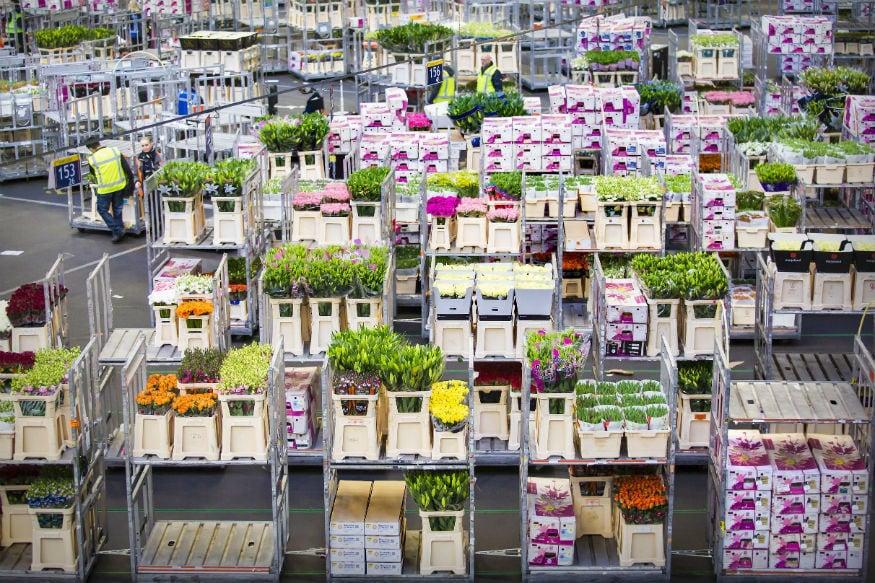 हाॅलंडमध्ये जगभरातली फुलं विक्रीसाठी येतात. इथे ट्युलिपची शेती सर्वात जास्त होते. पण ट्युलिपशिवाय इतर फुलांचीही विक्री होते.
