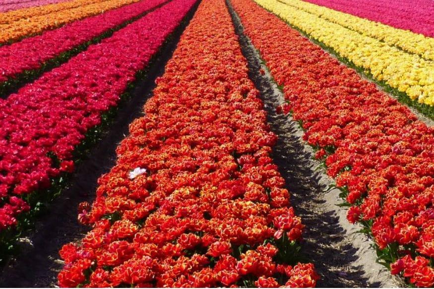 ट्युलिप, क्रोकस आणि हायसिंथ या फुलांची विक्री जास्त होते. त्यापाठोपाठ गुलाबांची विक्री होते.