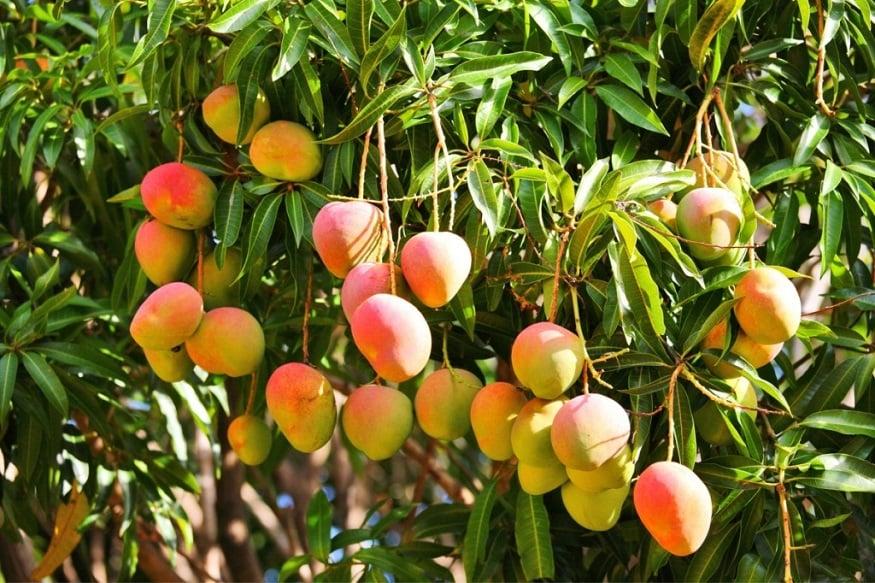 सर्वात जास्त लोकसंख्या असलेला चीन आंब्याच्या उत्पादनात दुसऱ्या नंबरवर आहे. इथे 47 लाख टन आंबे तयार होतात.