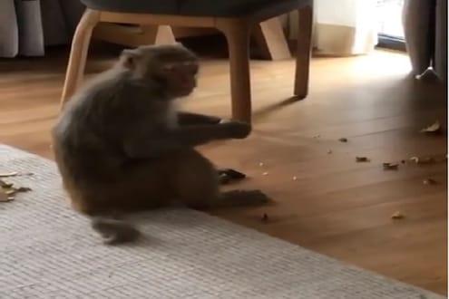 VIDEO- 'या' अभिनेत्रीच्या घरात घुसलं माकड, बेडरूममध्ये घातला हैदोस