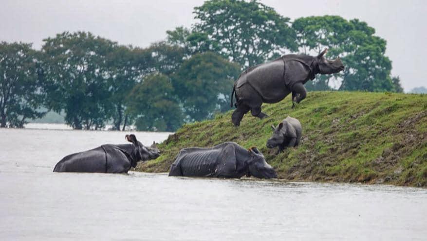 काझीरंगामधले एकशिंगी गेंडे आणि बाकीचे वन्यप्राणीही पुरापासून बचाव करण्यासाठी उंचावरच्या ठिकाणी गेले आहेत.