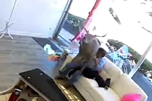 पहावं ते नवलंच! खिडकीची काच तोडून महिलेवर सांबारने मारली उडी, VIDEO VIRAL