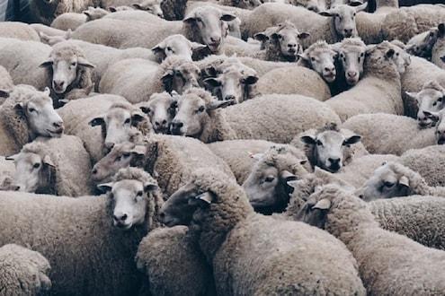 अरे देवा...देवीच्या रोगाची लागण, अडीचशे मेंढ्या दगावल्या