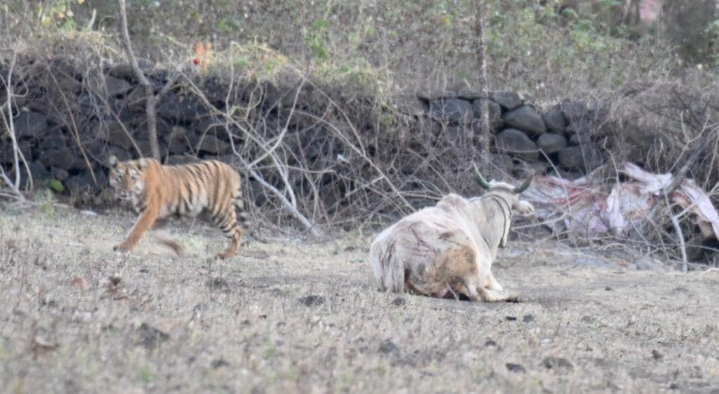 टिपेश्वर अभियारण्याला लागून असलेल्या सुन्ना गावापरिसरात वाघिणीने हल्ला करून गाई आणि बैल ठार केले. या घटनेने परिसरात वाघाची दहशत निर्माण झाली. विशेष म्हणजे ही घटना शेतकऱ्याच्या डोळ्या समोर घडली.