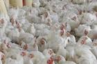 10 रुपये किलो दर करुनही मिळेना ग्राहक, अखेर जंगलात सोडल्या कोंबड्या