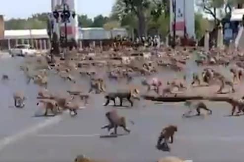 'Coronavirus' मुळे माकडांमध्ये झालेल्या गँगवारचा VIDEO व्हायरल, वाचा नेमकं काय घडलं