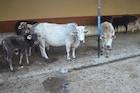 पशुधन वाऱ्यावर सोडून पशुवैद्यकीय अधिकारी करत आहे टेम्प्रेचर मोजण्याचे काम!