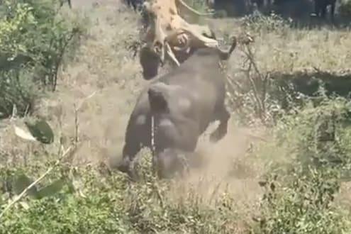 म्हशीसोबत पंगा सिंहाला पडला भारी, असं काय घडलं? एकदा पाहाच हा VIDEO