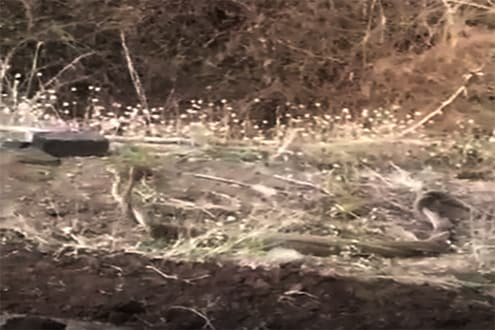 प्रणयात एकमेकांमध्ये असे हरवतात नाग-नागीण, शेतकऱ्यानं टिपलं कॅमेरात.. पाहा VIDEO