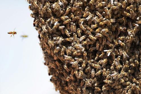 मावळमध्ये घडली भयंकर घटना, मधमाशांच्या भीषण हल्ल्यात एकाच मृत्यू