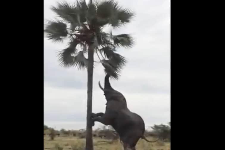 लॉकडाऊनमध्ये खाण्याच्या शोधात चक्क झाडावर चढला हत्ती आणि...पाहा VIDEO