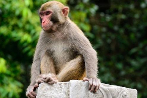 आतापर्यंतची कहर बातमी! माकडांनी पळवली COVID रुग्णांची सँपल्स पाहा VIDEO