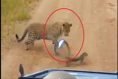 शिकारीसाठी आलेल्या बिबट्याला सरड्यानं दिला 'जोर का झटका', काय केलं पाहा VIDEO