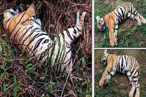 ताडोबातील त्या 3 वाघांच्या मृत्यूचं गूढ उलगडलं, समोर आली धक्कादायक माहिती