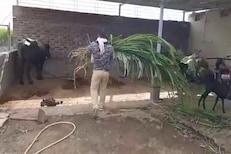 बळीराजा दवाखान्यात, जनावरांसाठी खाकी गोठ्यात, पाहा हा VIDEO