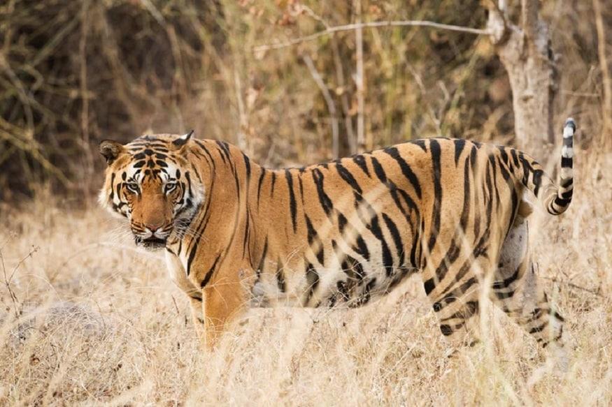 भारतात दर चार वर्षांत एकदा वाघांची गणना केली जाते. प्रत्येक राज्य वाघांची संख्या वाढवण्यासाठी विविध मोहिमांचे आयोजन करत असतात. फोटो सौजन्य-Twitter