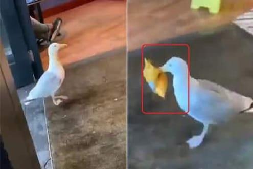 चोर पावलानं दुकानात घुसला 'सीगल' पक्षी, चिप्सचं पाकिट घेऊन झाला भुर्रर्र, VIDEO VIRAL