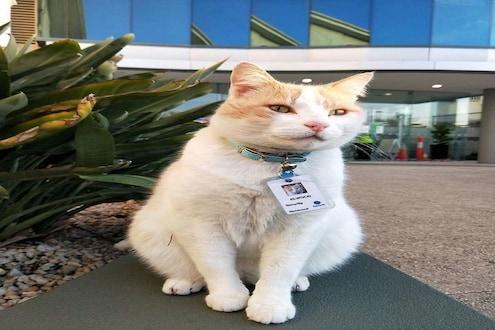 आता हेच बघायचं राहिलं होतं! रुग्णालयात मांजरीला मिळाली सिक्युरिटी गार्डची नोकरी