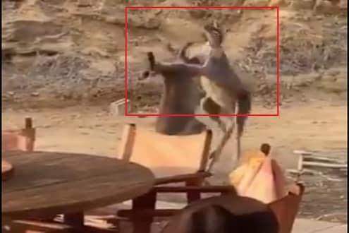 ...आणि दोन कांगारू एकमेकांना भिडले, दुर्मीळ लढाईचा VIDEO VIRAL