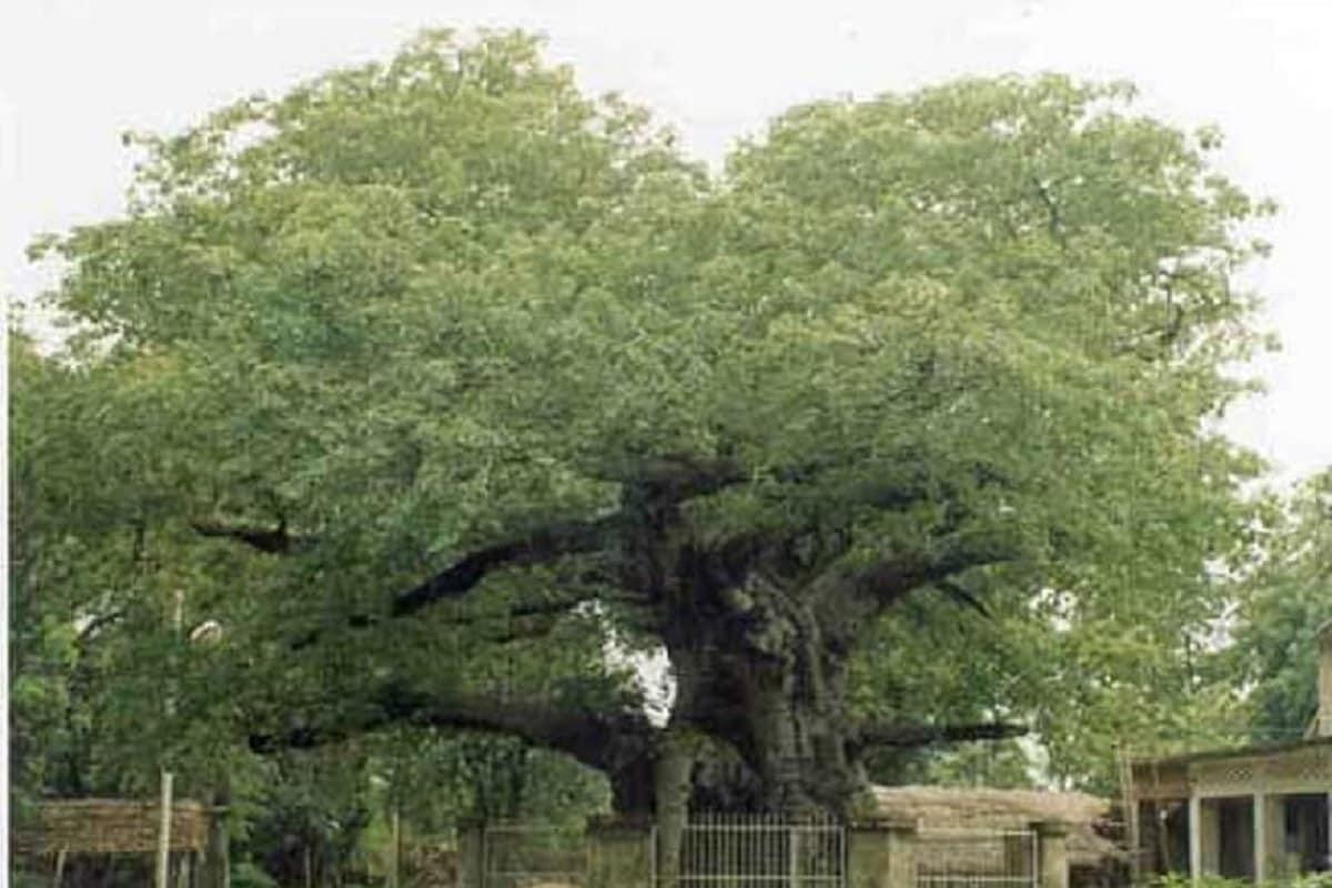 पारिजातकाचं झाड10-15फूट उंच असतं. काही वेळा ते 30 फूट उंचदेखील वाढतं. यावर भरपूर प्रमाणात फुलं येतात.