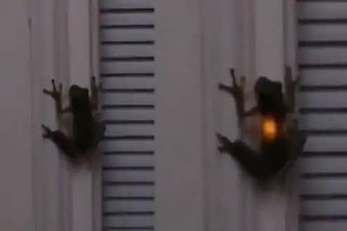 ...आणि भिंतीवर चिकटलेल्या बेडकाच्या पोटात अचानक पेटली लाइट, VIDEO पाहून व्हाल हैराण
