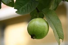 चवीला आंबट-गोड पेरू; पोटाच्या अनेक समस्या करतो दूर