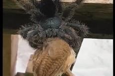 बापरे! कोळ्यानं जिवंत चिमणीला गिळलं, पुढे काय झालं पाहा VIDEO