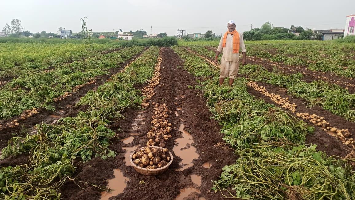 यंदा या परिसरात साडेसहा हजार एकर शेती क्षेत्रात बटाटा लागवड झाली.आता पीक काढणी योग्य झाले असून पाऊस झाल्याने बटाटे वेळेत काढले नाही तर सडून जाण्याचा धोका निर्माण झाल्याने बटाटा काढणी सुरू झाली. मात्र, काढनी केलेले बटाटे पावसामुळे शेतात सुडू लागले आहे.