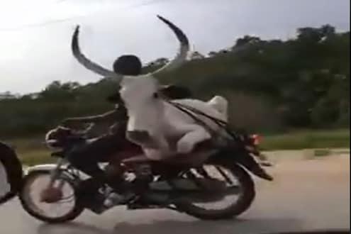 OMG! कुत्रा-मांजर नाही तर थेट बैलालाच बाईकवर डबलसीट नेलं; विश्वास बसत नाही तर पाहा VIDEO
