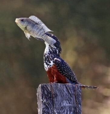 दिवसभरात हा पक्षी कमीतकमी चारवेळा खातो. त्याचबरोबर जेवण अधिक झालं आणि ते पचलं नाही तर उलटी करून तो बाहेर टाकतो. त्यानंतर पुन्हा तो शिकार करून भोजन करतो. आपल्या वजनाच्या 24 ते 26 पट अधिक तो खातो. माशांची आवड असणारा हा पक्षी दिवसातून 8 ते 10 मासे खातो तसंच न पचल्यास उलटीवाटे बाहेर टाकतो.