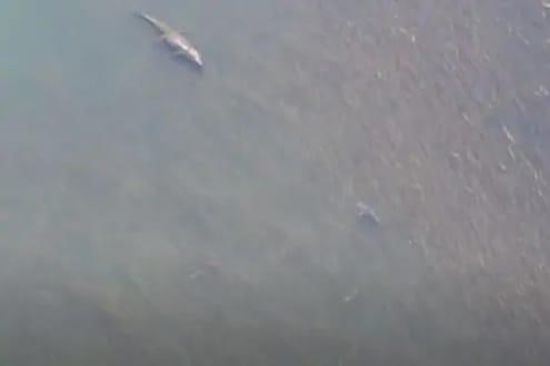 16 फुटांची मगर आणि टोकदार दातांचा शार्क, भलेमोठे जलचर एकमेकांसमोर आले...पुढे काय घडलं पाहा VIDEO