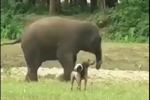 श्वानानं त्रास देऊन केलं हैराण, चिडलेल्या हत्तीनं काय केलं पाहा VIDEO