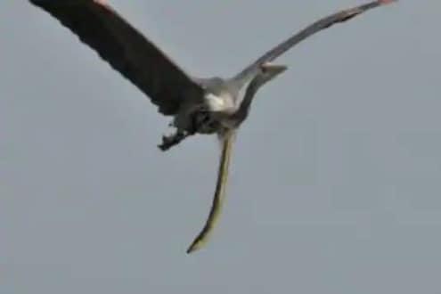 अद्भूत! पक्ष्याचं पोट फाडून ईल साप निघाला बाहेर; अत्यंत दुर्मीळ PHOTO पाहून व्हाल हैराण