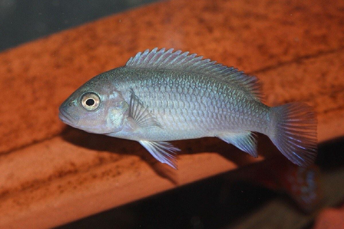 जशी माणसाला (Humans) स्पर्शाव्दारे जाणीव होते. तसेच झेब्रा माश्याला अन्य माशांच्या पाण्यातील हालचालींवरुन जाणीव होते. संशोधकांनी जेव्हा कृत्रिमपणे पाण्याची हालचाल केली तेव्हा या माश्याने अन्य मासे पाण्यात हालचाल करीत असल्यावर ज्या प्रतिक्रिया देतो त्या प्रमाणे प्रतिक्रिया दिली. यावरुन संशोधकांनी दुसऱ्याच्या अस्तित्वाचा आपल्या मेंदुवर खोलवर परिणाम होत असतो. तसेच मेंदूतील हार्मोन सामाजिक मेंदू (Social Brain) आणि वागणूकीवर परिणाम होत असावा असा निष्कर्ष मांडला. (प्रतिकात्मक छायाचित्र : Pixabay)