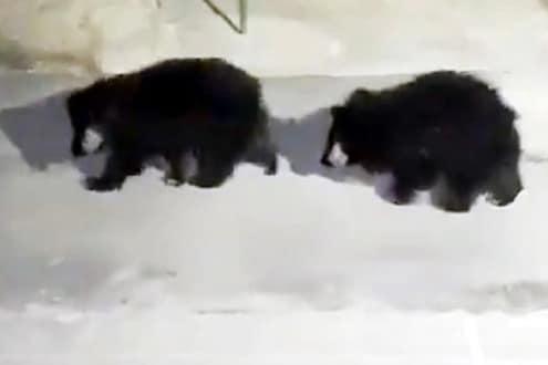 तक्रार की इन्स्पेक्शन? पोलीस ठाण्यात हजर झाले 3 अस्वल, पुढे काय घडलं तुम्हीच पाहा VIDEO