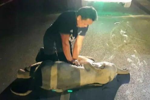 VIDEO: अपघातात जखमी झालं हत्तीचं पिल्लू; माणसाप्रमाणे CPR देऊन या अवलीयाने वाचवलं प्राण