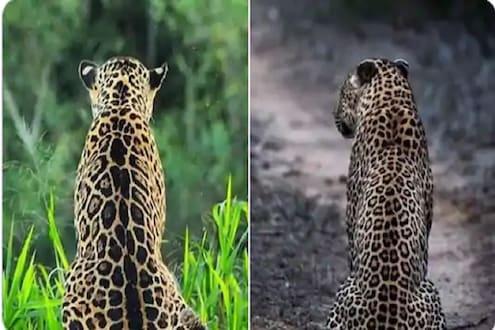 तुम्ही हे चॅलेंज घ्या आणि मित्रांनाही द्या! यातला Leopard आणि Jaguar ओळखून दाखवाच