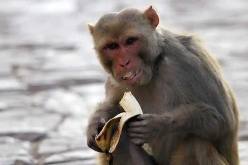 एका माकडानं संपूर्ण गावाला रडवलं; नेमकं काय घडलं वाचा