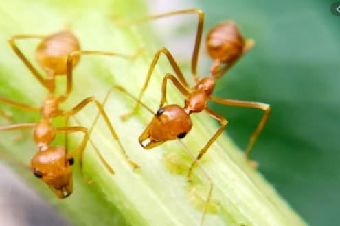 खोबरं, चिंच, टोमॅटोची नाही इथं लोक खातात लाल मुंग्यांची चटणी
