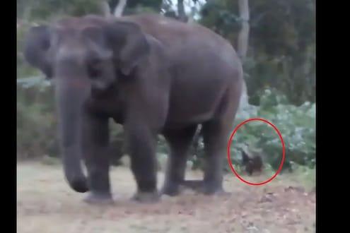 हत्तीमागे लपून वाघ शोधतोय सावज, असा VIDEO तुम्ही कधीही पाहिला नसेल