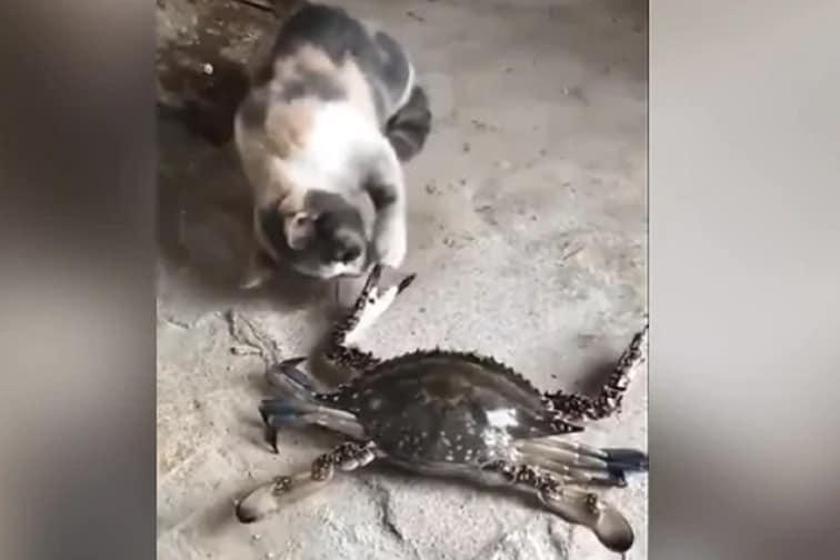 वाकड्यात शिरायचं नाय! छेड काढणाऱ्या मांजराला खेकड्यानं घडवली अद्दल; VIDEO VIRAL