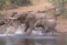 पाणी पिता पिता हत्तीच्या सोंडेत आली मगर; पुढे काय घडलं पाहा VIDEO