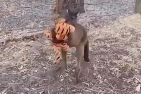 ...आणि कांगारूनं चक्क वाघालाच मिठी मारली; विश्वास बसत नाही तर पाहा VIDEO