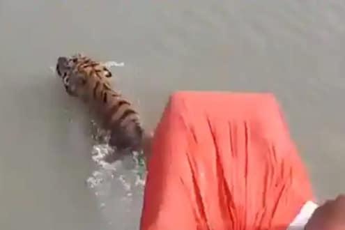 तो पुढे पुढे, होडी मागे मागे; नदीत अचानक समोर आला वाघ आणि... थरकाप उडवणारा VIRAL VIDEO