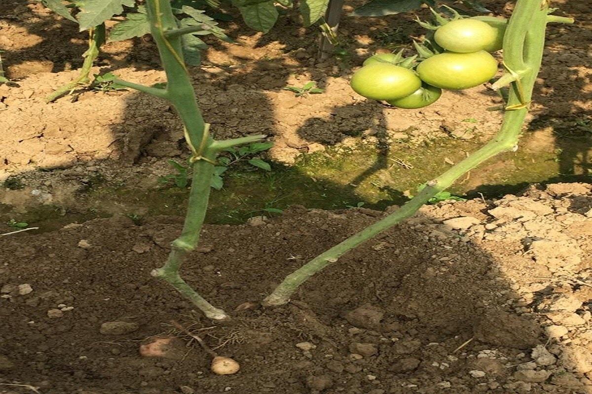 इतकंच नाही, पुढचा फोटो पाहा. यात एकाच झाडाला 2 भाज्या आल्या आहेत. जमीनीच्या आतमध्ये बटाटे आणि वरती टोमॅटो आल्याचं आपल्याला पाहायला मिळेल. या झाडाला पोमैंटो असं नाव दिलं गेलं आहे. ग्राफ्टिंगचा वापर करुन हे केलं गेलं आहे.