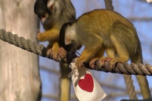 माकडांनीही साजरा केला माणसांचा प्रेमाचा दिवस, Valentine's Day ची खास ट्रीट, पाहा VIDEO